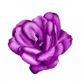 Purple Camelia Flower isolated on white background. illustration — Stock Photo