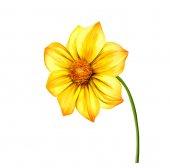 Illustration of Yellow Dahlia flower, Spring flower.Isolated on white background. — Stok fotoğraf