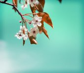 Sakura tree branch in bloom. — Stock Photo