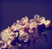 Třešeň květ květiny — Stock fotografie