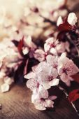 Cherry tree Blossom  flowers — Stock Photo