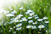 Green grass and chamomile flowers — Stock Photo