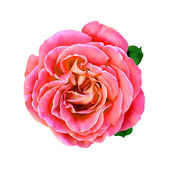 Rose Flower with leaves — Stock Photo