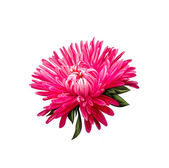 Red Aster flower — Stock Photo