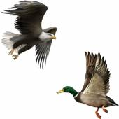 Mallard Duck and american bald eagle — Stockvektor