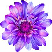 Purple Chrysanthemum flower — Stock Vector