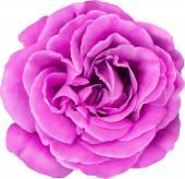 Pink Rose Flower — Vettoriale Stock