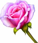 Pink Rose Flower — Cтоковый вектор