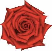 Fiore rosa rossa — Vettoriale Stock