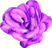 紫のバラの花 — ストックベクタ