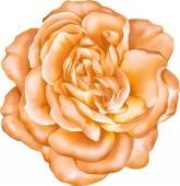 橙色玫瑰花卉 — 图库矢量图片
