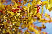 Fall background with  leaves,  berries — Stock Photo