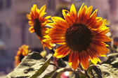 Yellow sunflowers and sun — Stock Photo