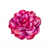 ローズ椿の花 — ストック写真