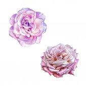 Light Pink Rose Flowers — Stock Photo