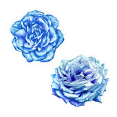 Blue  Rose Flowers isolated on white background — Stock Photo