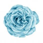 Blue turquoise Rose Flower — Stock Photo