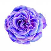 Purple  Rose Flower — Stock Photo