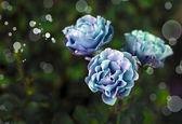 Beautiful blue roses — Stock Photo
