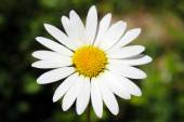 Flower daisies — Stock Photo