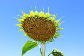 Sunflower in the intermediate stage of maturation — Stock Photo
