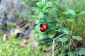 Olgun kırmızı kızılcık — Stok fotoğraf