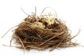 Quail nest with eggs — Stockfoto