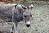 Brown-gray donkey — Stock Photo
