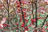 Berries of barberry  — Stock Photo