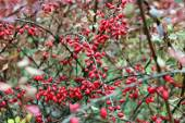 Barberry branches with berries — Stock Photo