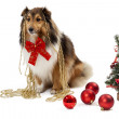 Elegant shetland sheepdog — Stock Photo #55966701
