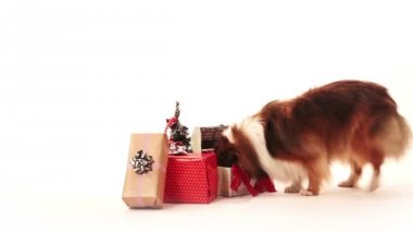 Dog looking for a presents — Stock Video