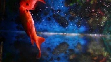 Goldfishes swimming in a aquarium — Stock Video