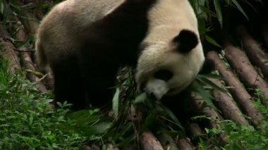 Panda bear eating — Stock Video