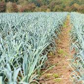 Organic bio leek field in Belgium — Stock Photo