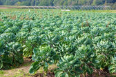 Field of Brussels sprouts — Stockfoto