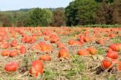 Halloween pumpkin patch — Stock Photo