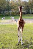 Giraffes in the zoo — Stock Photo
