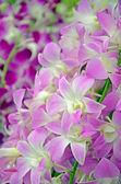 Fancy Tone of Denerobium Orchids (Dendrobium Hybrid) in Thailand. — Stock Photo