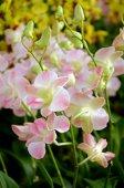 Fancy Tone of Denerobium Orchids (Dendrobium Hybrid) in Thailand. — Foto Stock
