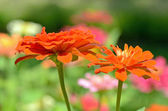 Field of Zinnia flower (Zinnia violacea Cav.) — 图库照片