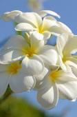 White and yellow Plumeria spp. on bright sunlight. — Foto de Stock