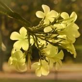Vintage Tone of Plumeria spp. (frangipani flowers, Frangipani, Pagoda tree or Temple tree) on natural background. — Stock Photo