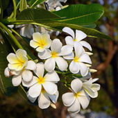 White and yellow Plumeria spp. (frangipani flowers, Frangipani, Pagoda tree or Temple tree) on natural backgroun — Stock Photo