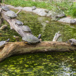 Turtles on a log in a pond — Stock Photo #53846431