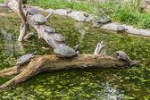 Schildkröten auf einem baumstamm in einem teich — Stockfoto