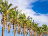 Palm trees lighted by evening sun — Stock Photo