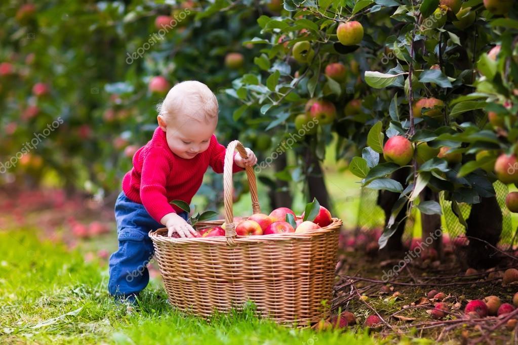 Дети собирают фрукты осенний сад картинки