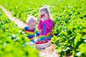 ファームの新鮮なイチゴを拾う子供たち — ストック写真