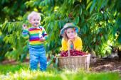 Kids picking cherry fruit on a farm — Stock Photo